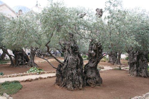 Olivenbäume am Ölberg in Jerusalem