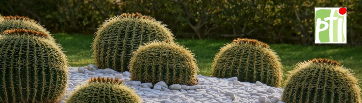 Der Kaktus